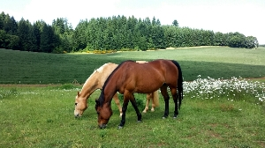 Our Therapy Horses Grazing in the Pasture