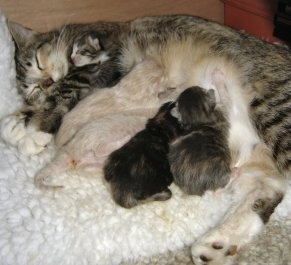 Mama Cat with Baby Kittens Nursing