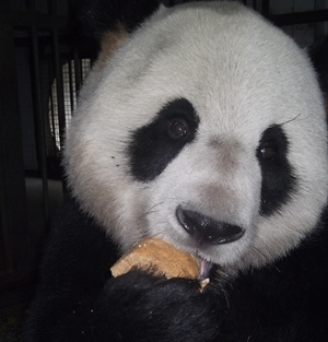 Care for Pandas in China
