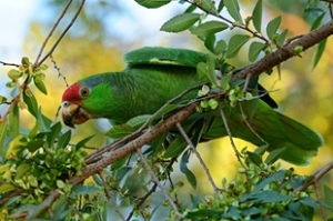 Wild Red-crowned Amazon