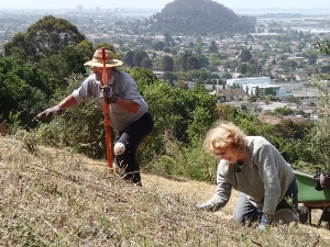 Pulling broom in Hillside Natural Area