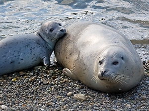 Seal mom and pup
