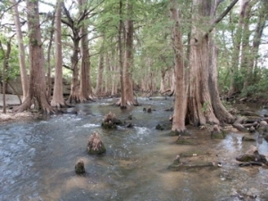 Cibolo Creek lined by Bald Cypress trees