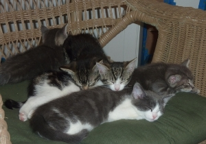 Kittens in foster home