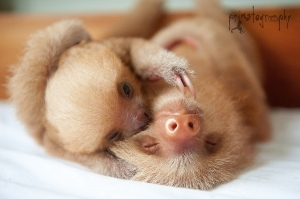 2 toed sloths