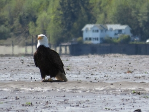 Bald Eagle in the Nisqually Delta