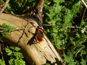 Butterfly on Strawberry Hill