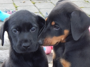 Labrador and Doberman
