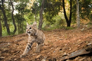 Bobcat - Indigenous to the Bay Area