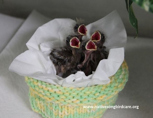 House finches in care