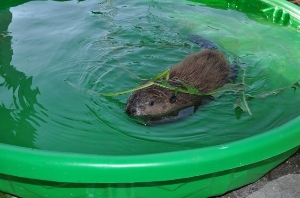 Young beaver in care